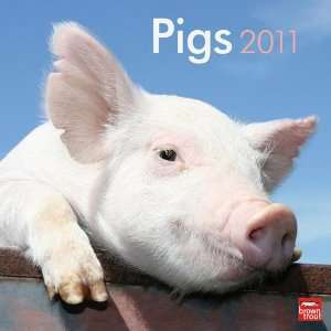2011 Animal Calendars Pigs   12 Month   30x30cm