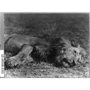 Lion shot,Kermit Roosevelt,hunting,big game,trophies,dead